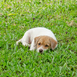 Puppy on the green grass garden Stock Images