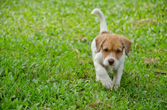 Puppy on the green grass garden Royalty Free Stock Photos