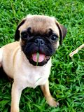 Baby fawn baby Pug. Puppy with green grass in mouth cute face royalty free stock image