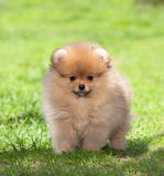 Puppy on green grass Stock Images