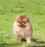Puppy on green grass Royalty Free Stock Image