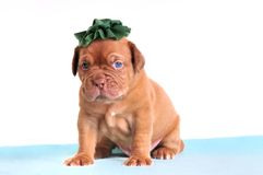 Puppy in a green hat Royalty Free Stock Photo