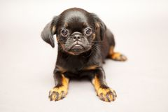 Puppy  Griffon Brabanson Stock Images