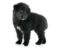 Puppy groenendael Royalty Free Stock Photo