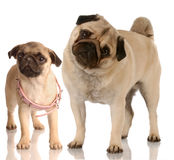 Puppy growth. Growth - pug standing beside puppy with collar that is too big Stock Images