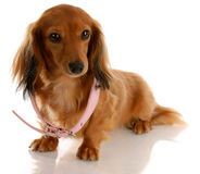Puppy growth. Miniature dachshund wearing a dog collar that is too big Royalty Free Stock Image