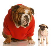 Puppy growth. English bulldog sitting beside pug puppy that is wearing collar that is too big royalty free stock image