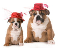 Puppy growth royalty free stock images