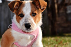 Puppy in Halter Stock Photos