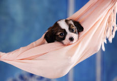 Puppy in a hammock Royalty Free Stock Photos