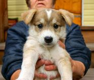 Puppy on hand of the landlady Stock Image