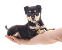 Puppy on the hand. Stock Image