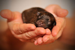 Puppy in hands Stock Photos