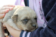Puppy in the hands of a child Stock Photography