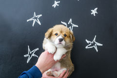 Puppy in hands on star picture background.  Royalty Free Stock Image