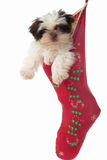 Puppy Hanging Around In Christmas Stocking 2. Cute Shih Tzu puppy dog, hanging in a Christmas stocking royalty free stock photography