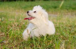 Puppy Royalty Free Stock Images
