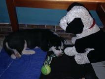 Puppy Royalty Free Stock Photos