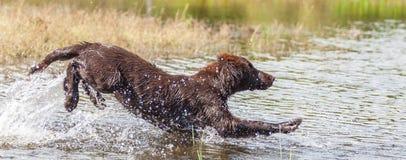 Puppy has fun at a lake. Flat Coated retriever has fun at a lake Royalty Free Stock Photos