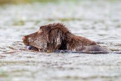 Puppy has fun at a lake. Flat Coated retriever has fun at a lake Royalty Free Stock Image