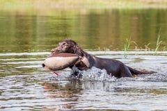 Puppy has fun at a lake. Flat Coated retriever has fun at a lake Royalty Free Stock Photo