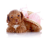 Puppy in a hat with a bow. Royalty Free Stock Images