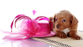 Puppy and a hat with feathers. Stock Photo