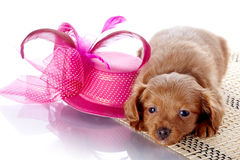 Puppy and a hat with feathers. Stock Images