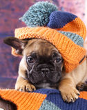 Puppy in hat. French bulldog puppy in hat Stock Image