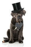 Puppy with hat Stock Images