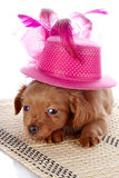Puppy in a hat on a rug. Stock Photo