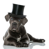 Puppy with hat Royalty Free Stock Photo