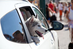 Puppy head out a moving and driving car window. Royalty Free Stock Images