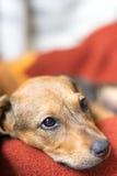 Puppy headshot portret met droevige blik stock fotografie