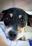 Puppy - Hefboom Russell Terrier Stock Afbeeldingen