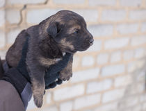 Puppy in her arms Stock Images