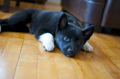 Puppy het bepalen Royalty-vrije Stock Afbeeldingen