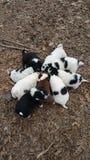Puppy het eten Stock Foto
