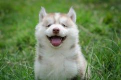 Puppy het glimlachen Royalty-vrije Stock Afbeeldingen