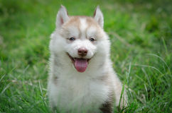 Puppy het glimlachen Stock Afbeelding