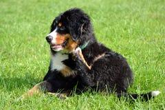 Puppy het krassen Stock Foto's