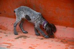 Puppy het snuiven emmer stock afbeelding