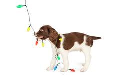 Puppy het Spelen met Kleurrijke Kerstmislichten Royalty-vrije Stock Afbeeldingen