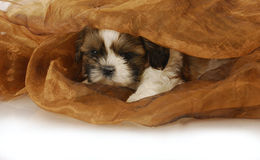 Puppy hiding Stock Image
