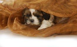 Puppy hiding Stock Image