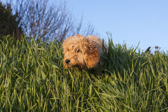 Puppy hiding in the grass Royalty Free Stock Images