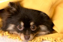 Puppy hiding under a blanket Stock Images