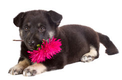 Puppy Holding Flower Royalty Free Stock Photography