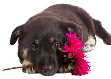 Puppy Holding Flower Stock Image