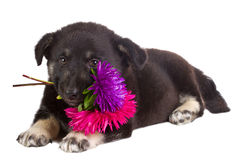 Puppy holding flowers Royalty Free Stock Photography